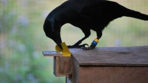 Burung Gagak Di Taman Prancis Jadi Petugas Kebersihan